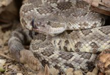 Man Finds Over 30 Rattlesnakes In Shed in texas