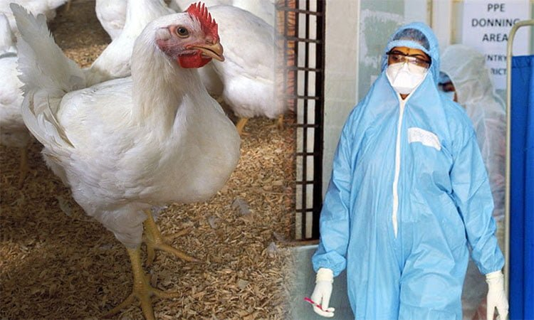 coronoa virus is not spreading in chicken fact check